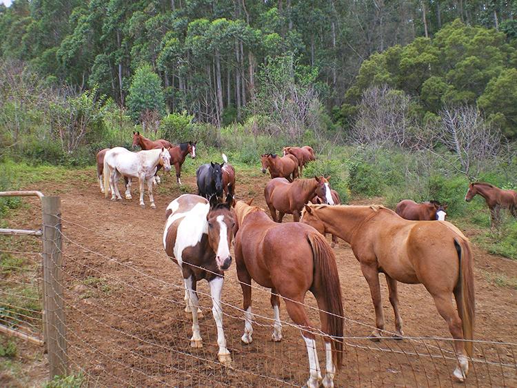 Allevamento di cavalli a Maui