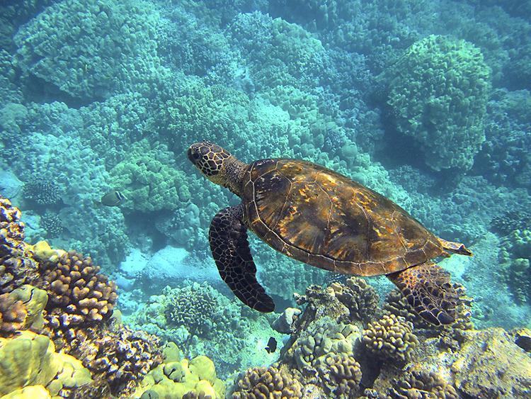 Tartaruga marina a Maui